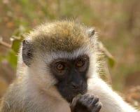 Mono de Vervet Foto de archivo libre de regalías