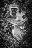 Mono de vervet blanco y negro Foto de archivo