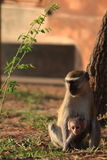 Mono de Vervet con el bebé Imagenes de archivo