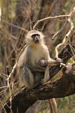 Mono de Vervet con el bebé foto de archivo libre de regalías