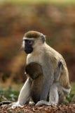 Mono de Vervet con el bebé Imagen de archivo libre de regalías
