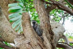 Mono de Vervet con su bebé imagen de archivo