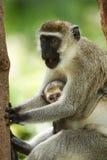 Mono de Vervet con un joven Fotografía de archivo
