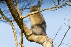 Mono de Vervet del parque del humedal de Isimangaliso Fotografía de archivo libre de regalías