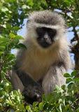 Mono de Vervet en Addo Imágenes de archivo libres de regalías