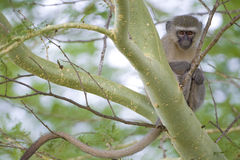 Mono de Vervet en un árbol Foto de archivo libre de regalías