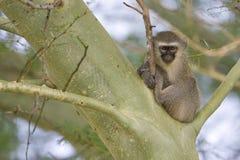 Mono de Vervet en un árbol Fotos de archivo libres de regalías
