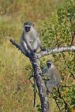 Mono de Vervet (pygerythrus de Chlorocebus) foto de archivo libre de regalías
