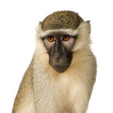 Mono de Vervet - pygerythrus de Chlorocebus Foto de archivo