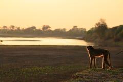 Mono de Vervet que mira el río Fotografía de archivo libre de regalías