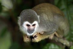 Mono del Amazonas Fotografía de archivo libre de regalías