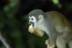 Mono del Amazonas Fotos de archivo