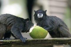 Mono del Amazonas Imagenes de archivo