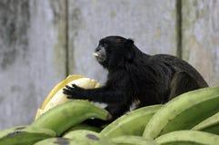 Mono del Amazonas Fotos de archivo libres de regalías