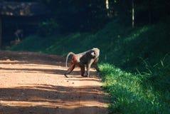 Mono del babuino Fotografía de archivo