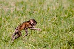 Mono del bebé del Berber Imagenes de archivo