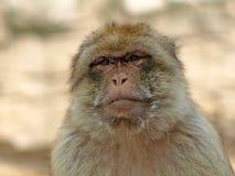 Mono del Berber Fotografía de archivo
