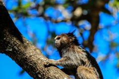 Mono del Callithrix en un árbol Fotos de archivo libres de regalías
