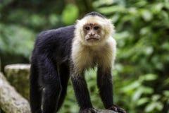 Mono del capuchón Imagen de archivo libre de regalías