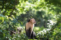 Mono del capuchón Imágenes de archivo libres de regalías