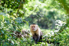 Mono del capuchón Foto de archivo libre de regalías