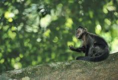 Mono del capuchón de Brown Foto de archivo libre de regalías