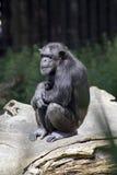 Mono del chimpancé Foto de archivo libre de regalías