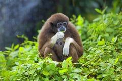 Mono del Gibbon Imagen de archivo libre de regalías