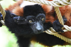 Mono del lémur Imagen de archivo libre de regalías