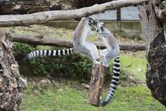Mono del lémur mientras que salta Imagenes de archivo