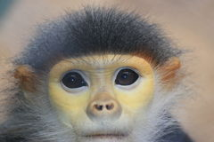 Mono del Langur de Douc Fotos de archivo