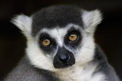 Mono del lemur Ring-tailed Imágenes de archivo libres de regalías