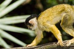 Mono del mono tití Fotografía de archivo libre de regalías