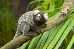 Mono del mono tití Imagenes de archivo