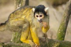 Mono del mono tití Imagen de archivo libre de regalías