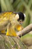 Mono del mono tití Imágenes de archivo libres de regalías
