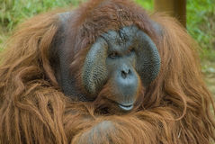 Mono del orangután Imagen de archivo libre de regalías