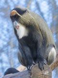 Mono del ` s de De Brazza foto de archivo
