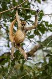 Mono del saludo Imagen de archivo
