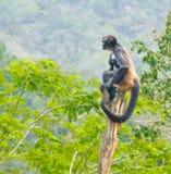 Mono del sciureus del Saimiri en selva Fotografía de archivo