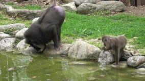 Mono del taladro, leucophaeus del Mandrillus, descansando en el área del hábitat de la naturaleza Animales críticamente en peligr metrajes