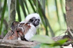 Mono del Tamarin Imagen de archivo libre de regalías