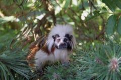 Mono del Tamarin Foto de archivo libre de regalías
