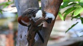 mono del tamarin del Algodón-top almacen de metraje de vídeo
