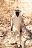Mono del varón adulto de Vervet Imagenes de archivo