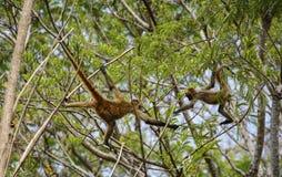 Mono del vuelo Imagen de archivo libre de regalías