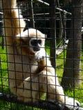 Mono detrás de barras Imagen de archivo libre de regalías