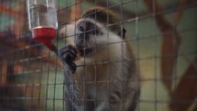 Mono detr?s de barras de una jaula en el parque zool?gico que mira hacia fuera para la comida de la gente almacen de metraje de vídeo