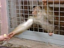 Mono detrás de las barras fotografía de archivo libre de regalías
