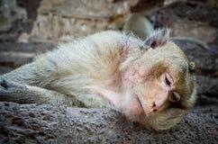 Mono dormido Fotos de archivo